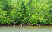 foto of swamps  - France mangrove swamp in Petit Canal in Guadeloupe - JPG