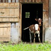 picture of calves  - two young calves looking out of a barn door - JPG