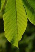 pic of chestnut horse  - One horse chestnut textured green leaf in back lighting on green background - JPG