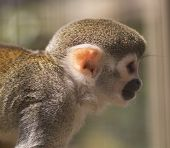 picture of fanny  - Squirrel monkey - JPG