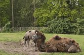 stock photo of foal  - Camel with foal - JPG