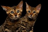 stock photo of kitty  - Two Bengal Kitty Looking in Camera on Black Background - JPG