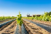 pic of silos  - Field of rooted grafts of vine - JPG