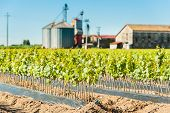 foto of silos  - Field of rooted grafts of vine - JPG