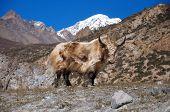 stock photo of yaks  - Nepalese long haired yak in Himalaya mountains - JPG