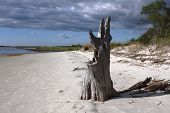 image of jekyll  - Old stump of a dead oak tree seems to be saluting the inter coastal waters around Jekyll Island - JPG