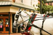 picture of carriage horse  - Carriage horses are well taken care of in Savannah Historic District  - JPG