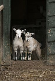picture of goat horns  - Two young four horned goats standing in door opening of stable - JPG