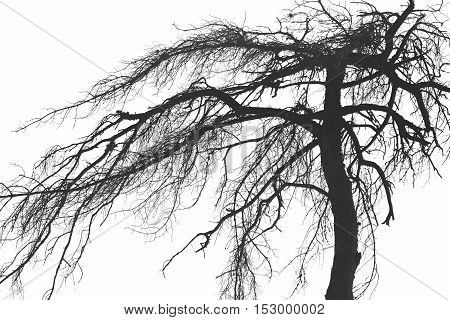 Scary Dry Tree Or Roots Plant Isolated On A White Background
