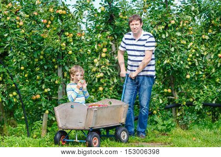 Little kid boy and father picking and eating red apples on organic farm, autumn outdoors. Family of two, dad and son best friends having fun with harvesting