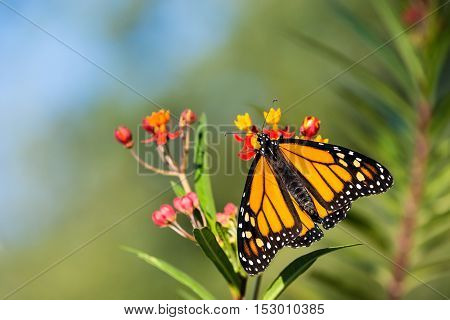 Newly emerged Monarch butterfly (Danaus plexippus) on tropical milkweed flowers