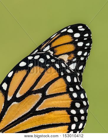Closeup details of Monarch butterfly (danaus plexippus) wing against natural green background