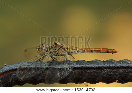 Dragonfly with spread wings sitting on a rod
