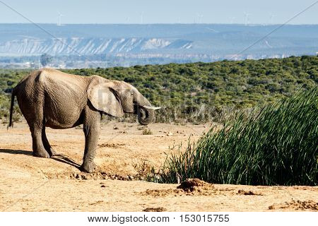 Young African Bush Elephant Drinking Water
