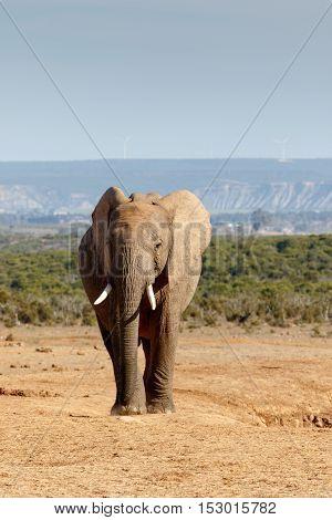 Portrait Of A African Bush Elephant