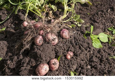 Tubers of red potatoes and greens lie on the ground
