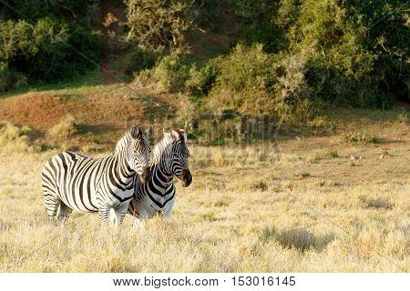 Burchell's Zebra Standing In A Field