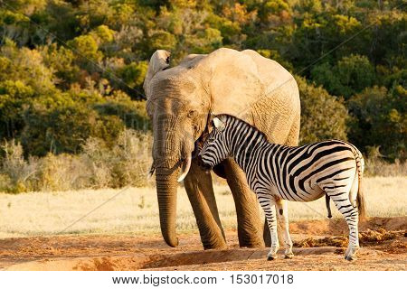 Zebra Mocking A Huge African Bush Elephant