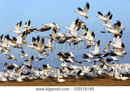 Thousands of migrating Snow Geese ( Chen caerulescens ) fly off after a layover in Lancaster County Pennsylvania USA.