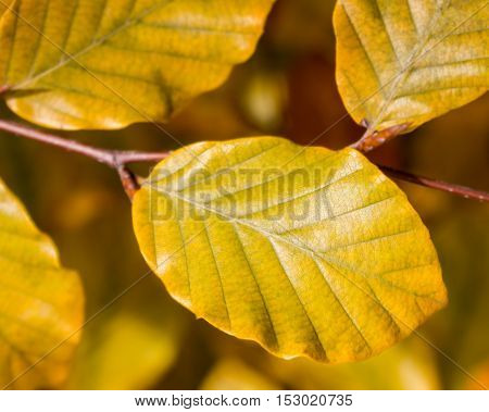 Yellow foliage on the branch autumn days