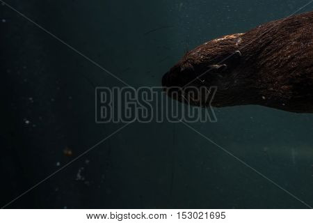 River otter swimming in the water full submerged