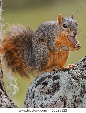 A squirrel with a pecan in it's mouth