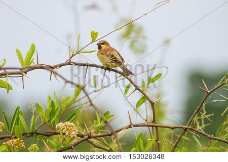 Plain Backed Sparrow Standing On Branch