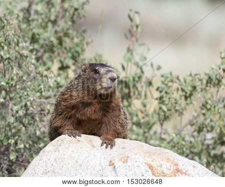 Yellow-bellied marmot on rock with shrubs in background