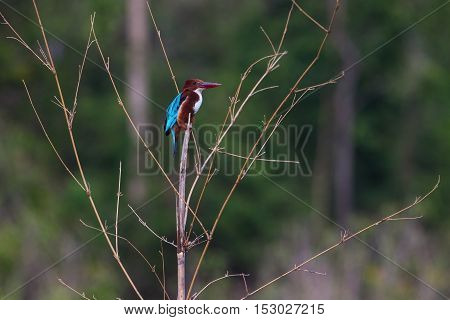 Portrait Of Beautiful White-throated Kingfisher