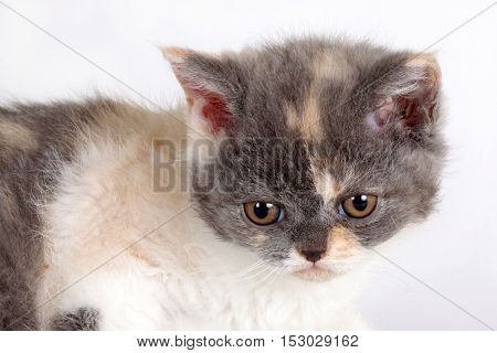 Kitten of breed Selkirk Rex tricolor color white background in the Studio cute pet for family and children head closeup