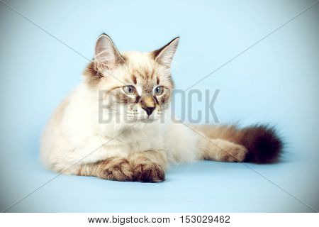 young beautiful cat breed Neva masquerade on a blue background in the Studio a good pet for the family lies proudly lounging