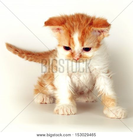 Kitten of breed Selkirk Rex red-white color on a light gray background in the Studio cute pet for family and children