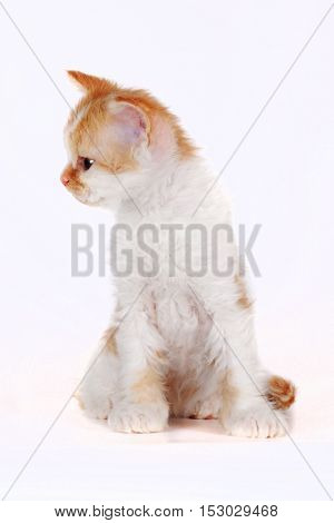 Kitten of breed Selkirk Rex red-white color on a white background in the Studio cute pet for family and children