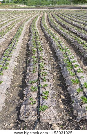 Grow up young salad Rows of Agricultural farming field landscape