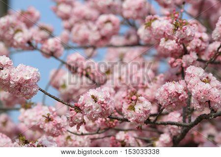 Cherry blossom flowers in garden at Japan Mint Osaka Japan