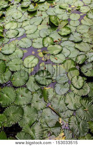 green lotus flower leaves sitting in pond