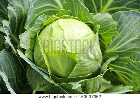 One young green cabbage with emerald leaves covered with morning dew in the vegetable garden