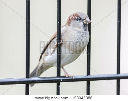 House Sparrow On Old Fence