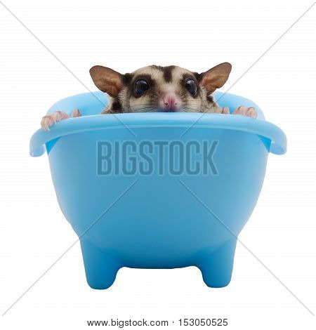 Sugar glider hide in blue bathtub and gaze out on white background.