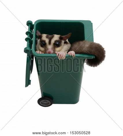 Sugar glider hide in a green small garbage bin on white background.