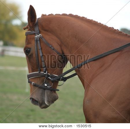 Chestnut Dressage Horse