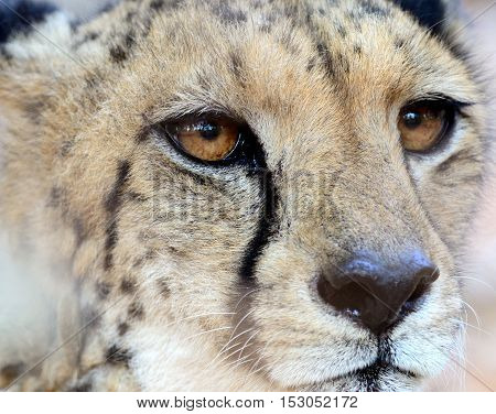 A Close Up of a Cheetah Face