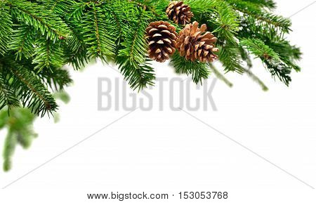 Fir branch in fresh green with cones studio shot on pure white copyspace background