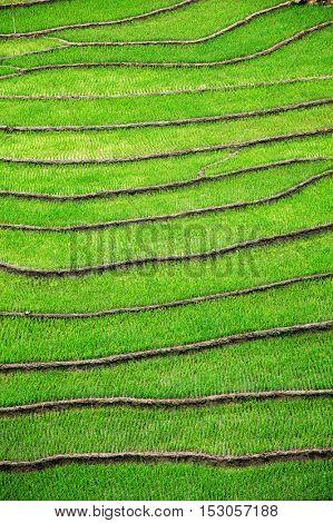 Rice field terraces (rice paddy fields). Ta Van Village, Muong Hoa valley, Sapa, Vietnam