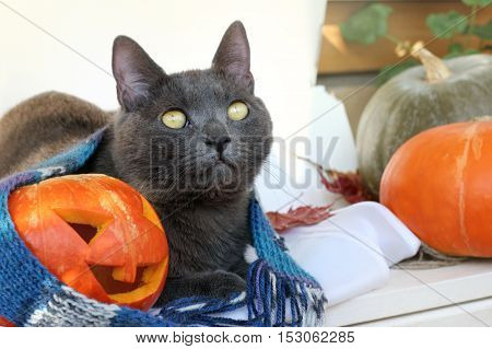 cat resting next to a smiling pumpkin in a warming scarf / meet together Halloween holiday