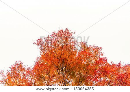 Beautiful Colorful Autumn Leaves  on white background