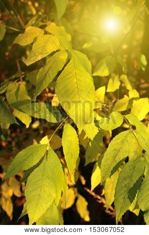 Branch of autumn tree with bright yellow foliage and sunlight