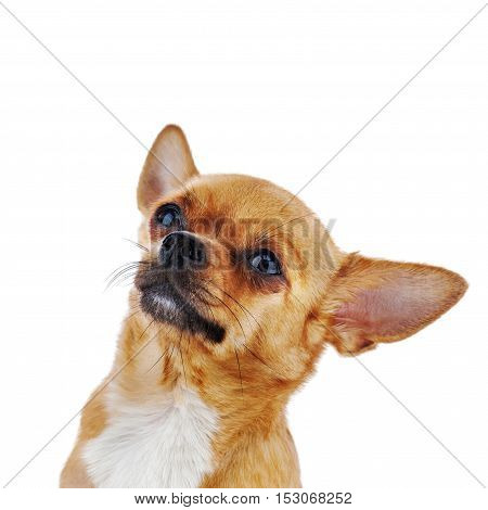 Red chihuahua dog isolated on white background. Closeup.