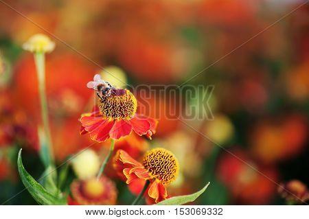 Macro shot of honey bee on red flower.