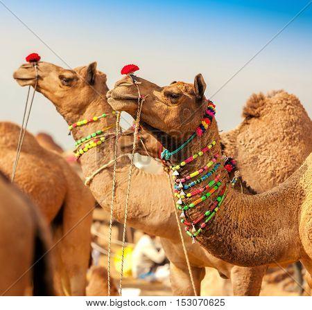 Decorated camel at the Pushkar fair. Rajasthan India Asia